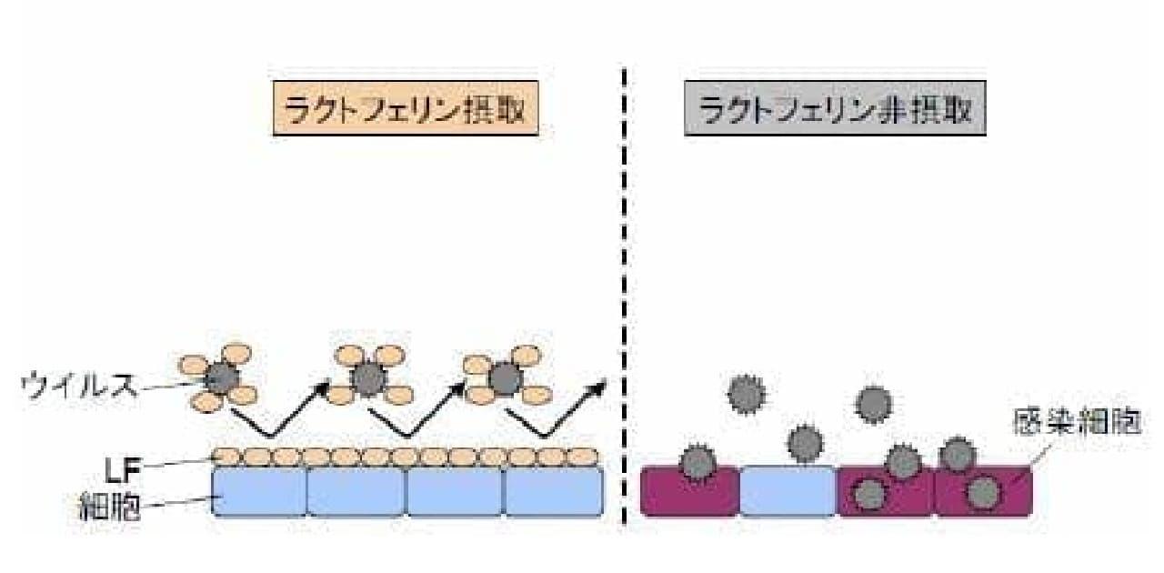 ラクトフェリンの、推測される抗ウイルス作用メカニズム